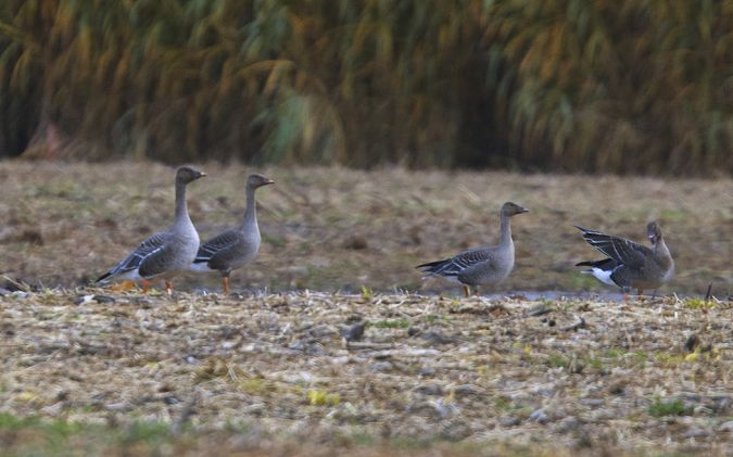 Bean Goose (A.f.rossicus)  - Willy Daeppen