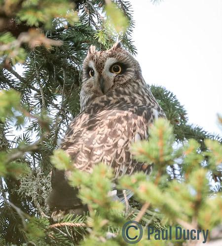 Short-eared Owl  - Michel Beaud