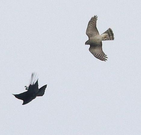 Eurasian Sparrowhawk  - Markus Schuhmacher