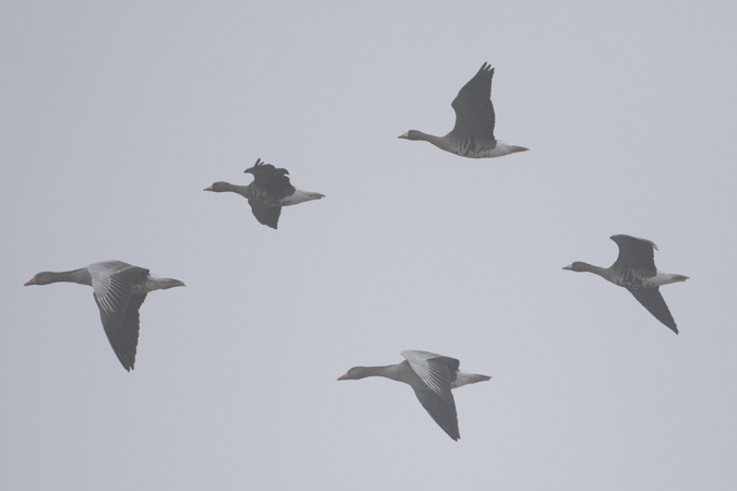 Greater White-fronted Goose  - Harald Roost