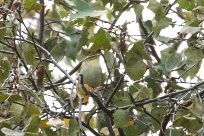 Yellow-browed Warbler  - Julien Mazenauer
