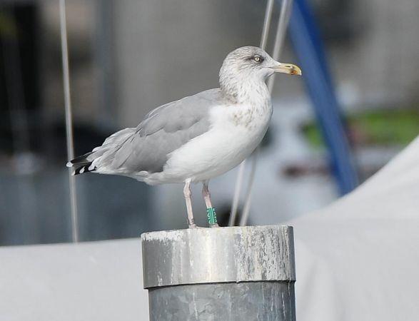 European Herring Gull  - Peter Schuler