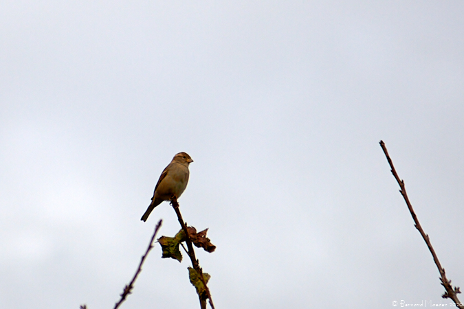 House Sparrow  - Bernard Maeder