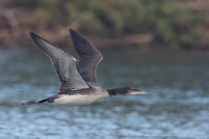 Common Loon  - Adelia Hellweger