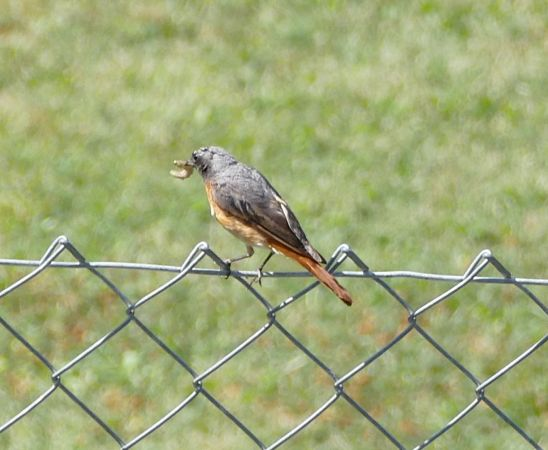 Common Redstart  - Violetta Fontana