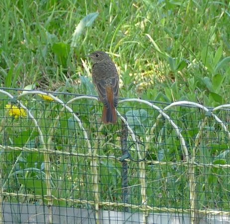 Common Redstart  - Violetta Fontana