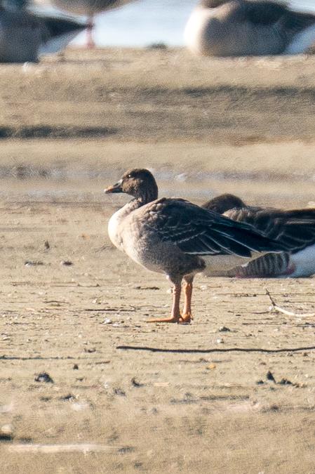 Bean Goose (A.f.rossicus)  - Adrian Schmid
