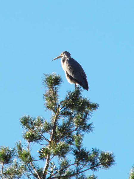Grey Heron  - Balthasar Martig