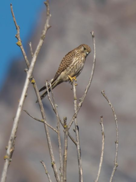 Common Kestrel  - Balthasar Martig