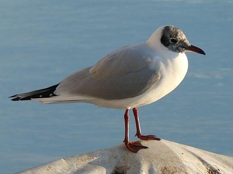 Black-headed Gull  - Inge Sterk