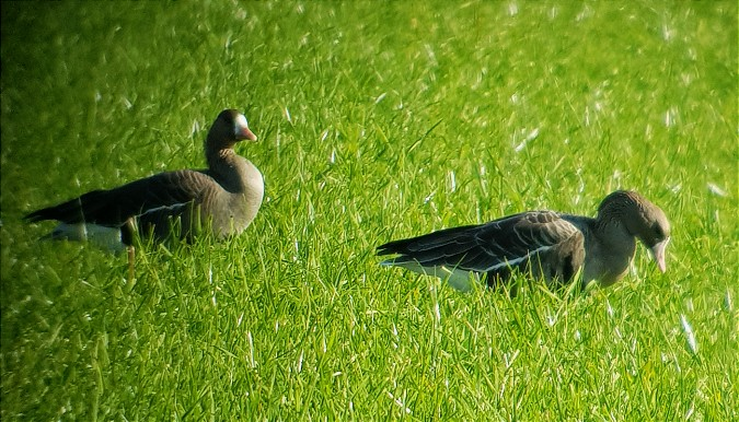 Greater White-fronted Goose  - Andreas Weiss