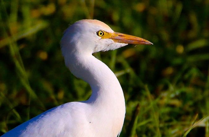 Cattle Egret  - Willy Daeppen