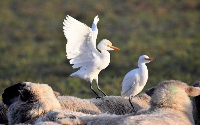 Cattle Egret  - Sonja Portenier