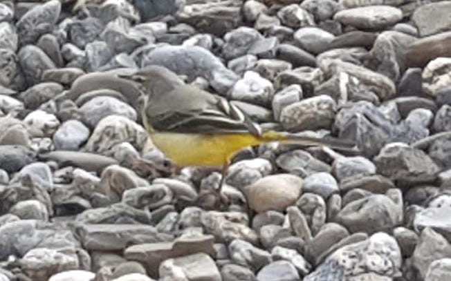 Grey Wagtail  - Jean-Claude Fornerod