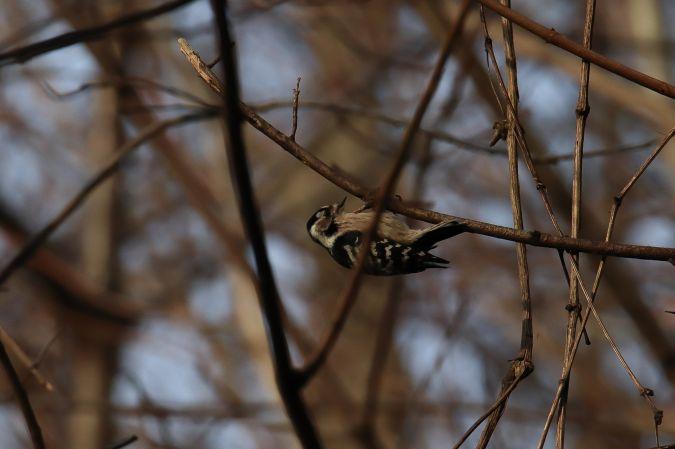 Lesser Spotted Woodpecker  - Simon Oberhofer