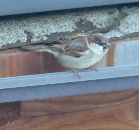 House Sparrow  - Violetta Fontana