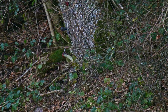 Eurasian Green Woodpecker  - Heini Hefti