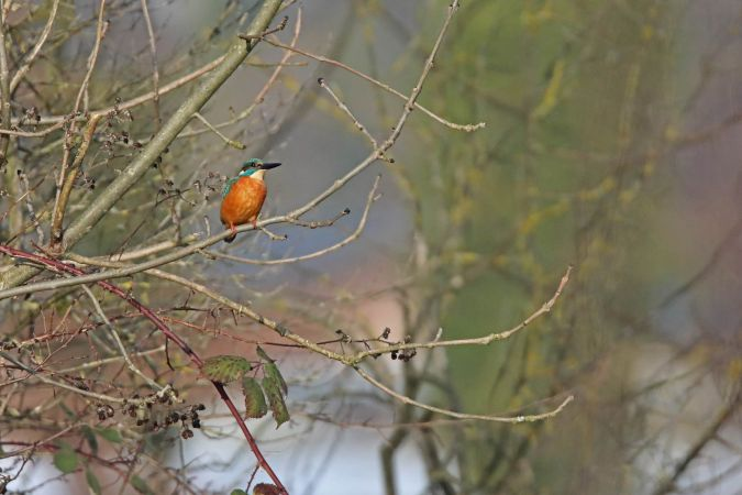 Common Kingfisher  - Eugénie Blessing