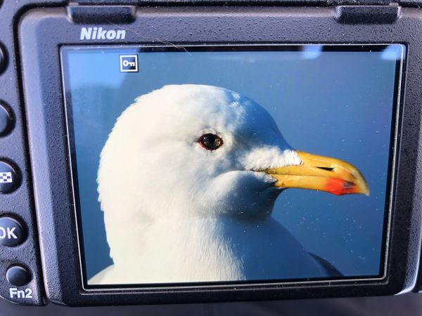 Caspian Gull  - Simon Von Dach