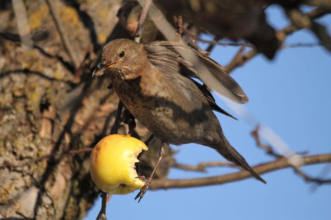 Eurasian Blackbird  - Erich Mühlethaler