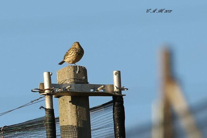 Meadow Pipit  - Catherine Agustoni
