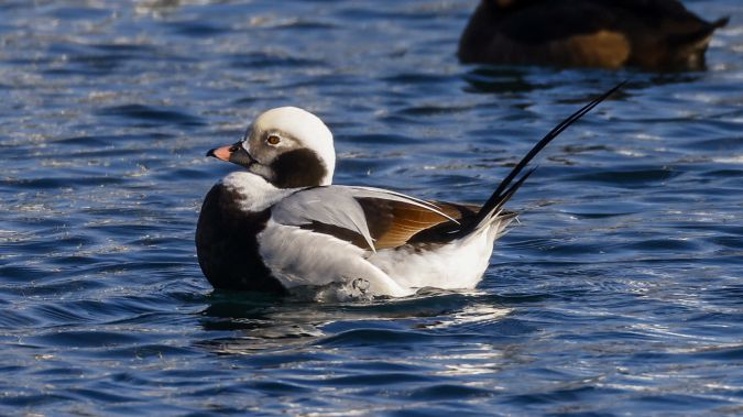 Long-tailed Duck  - Michael Lackner