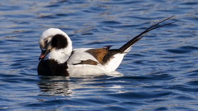 Long-tailed Duck  - Michael Lackner