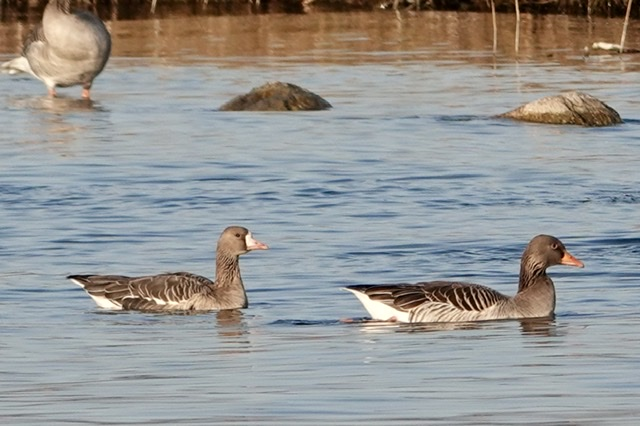Greater White-fronted Goose  - Daniel Winzeler