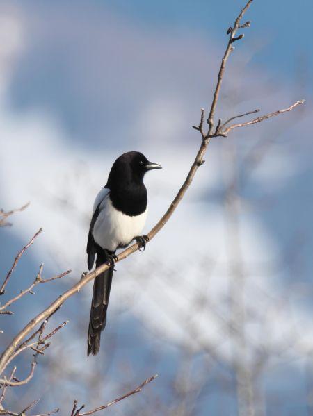 Eurasian Magpie  - Balthasar Martig