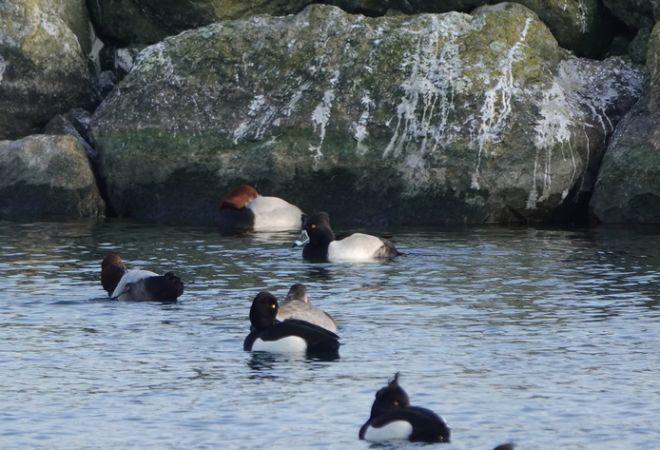 Ring-necked Duck  - Verena Döbelin