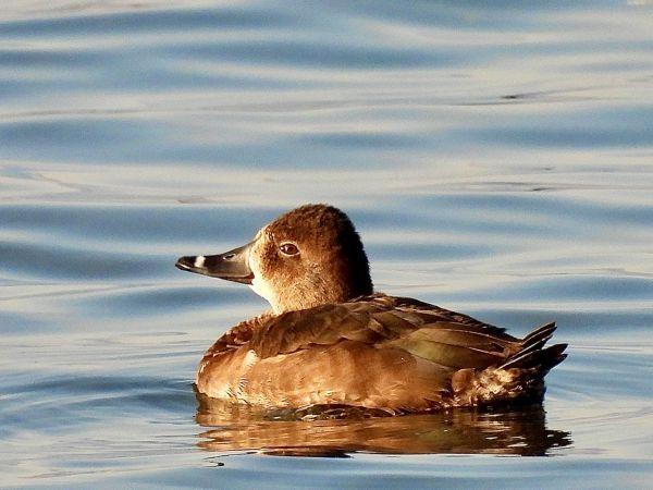 Ring-necked Duck  - Morgan Bonfanti