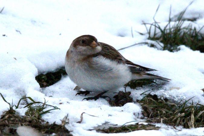 Snow Bunting  - Petra & Mathias Herren