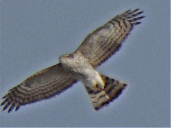 Eurasian Sparrowhawk  - Kàroly Zombori