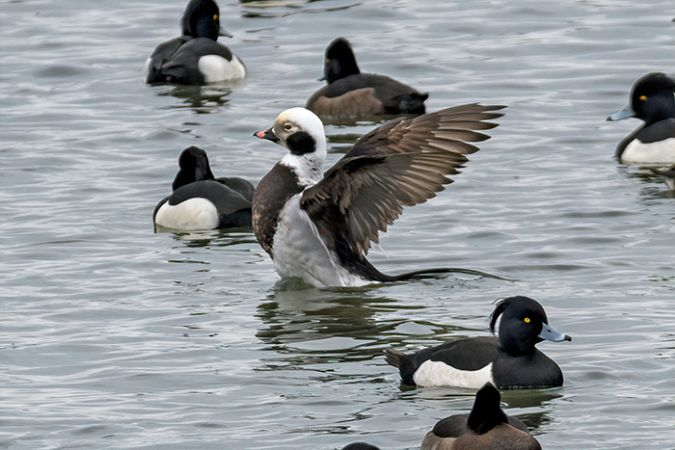 Long-tailed Duck  - Diego Salvadore