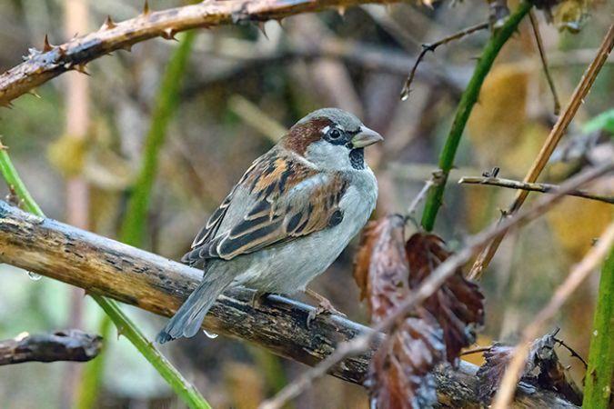 House Sparrow  - Diego Salvadore