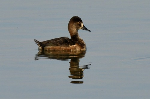 Ring-necked Duck  - Jean-Marc Fivat