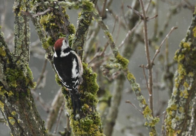 Middle Spotted Woodpecker  - Solange Chuat-Clottu