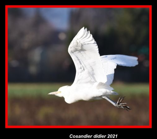 Cattle Egret  - Didier Cosandier