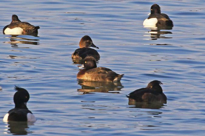 Ring-necked Duck  - Claudia Hischenhuber