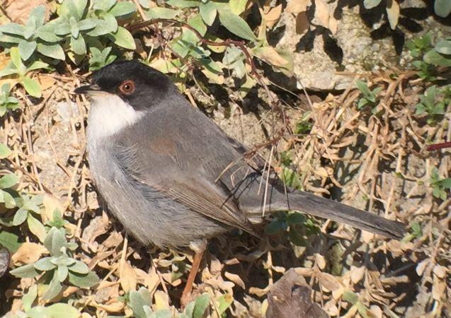 Sardinian Warbler  - Roth Judith