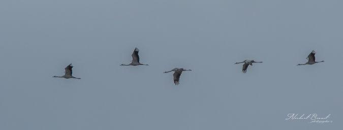 Common Crane  - Norbert Bosset
