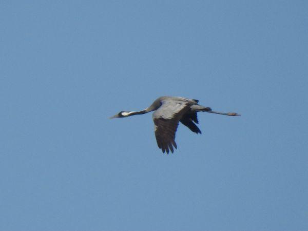 Common Crane  - Vreni Held