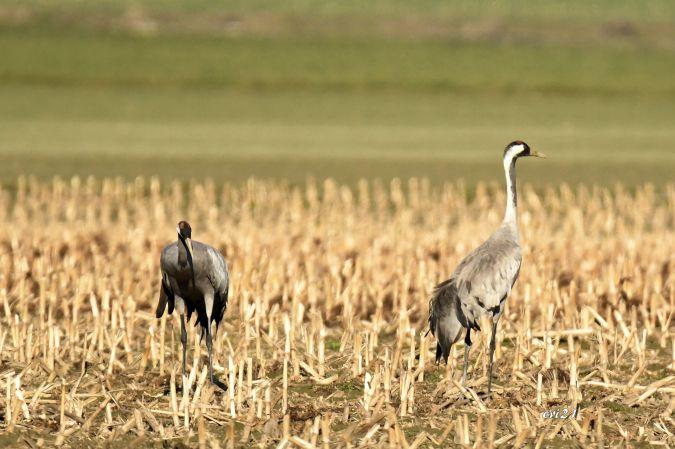 Common Crane  - Roger Jeanfavre