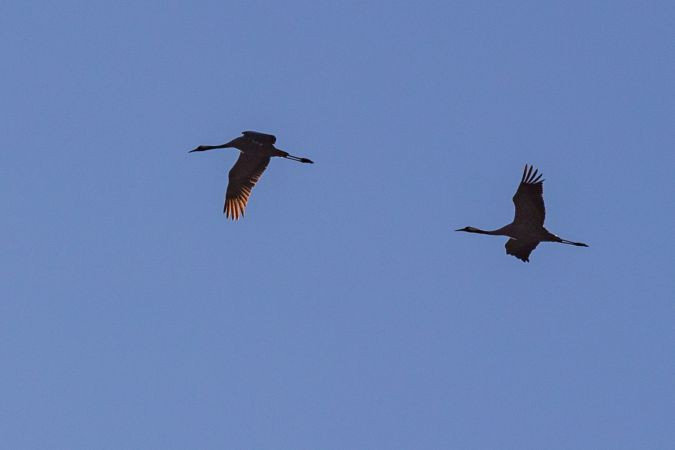 Common Crane  - Pierre Alain Quarroz