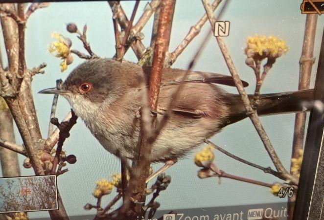 Sardinian Warbler  - Sebastian Poirier