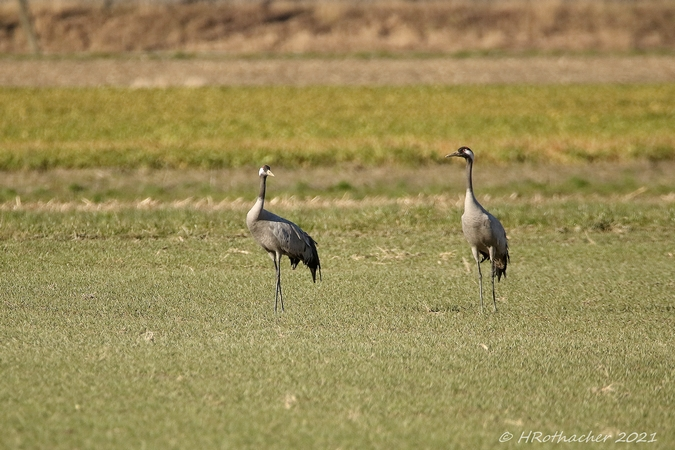 Common Crane  - Heinz Rothacher