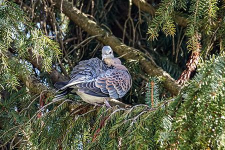 Oriental Turtle-dove  - Martin Leicht