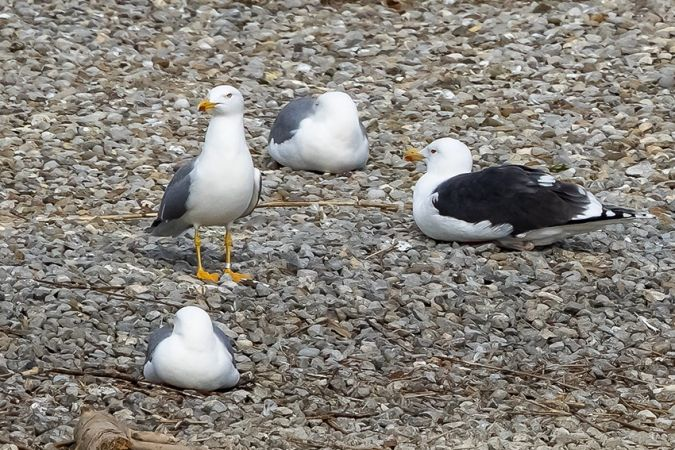 Great Black-backed Gull  - Fritz Sigg
