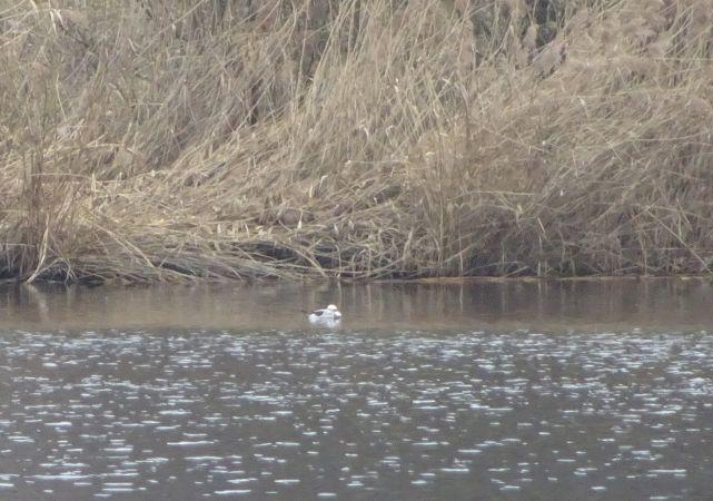 Long-tailed Duck  - Alain Gut