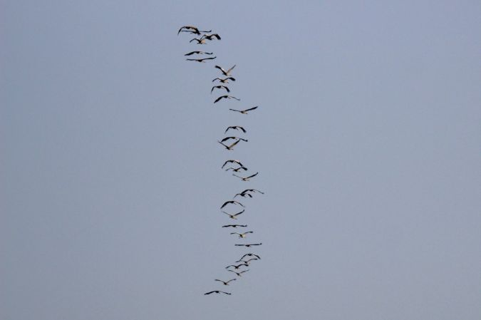 Common Crane  - Petra & Mathias Herren